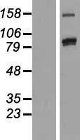 NBL1-14154 - PCDHAC2 Lysate
