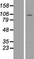 NBL1-14155 - PCDHB1 Lysate
