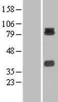 NBL1-14158 - PCDHB15 Lysate