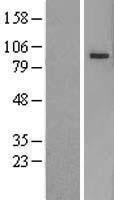 NBL1-14162 - PCDHB5 Lysate