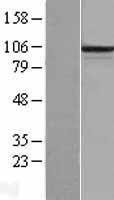 NBL1-14163 - PCDHB6 Lysate