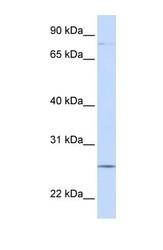 NBP1-59233 - PCDHGC3