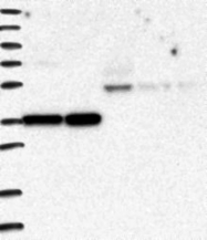 NBP1-82745 - PCGF5 / RNF159
