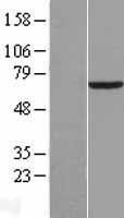 NBL1-14179 - PCK1 Lysate