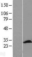 NBL1-14181 - PCMT1 Lysate