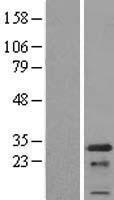 NBL1-14185 - PCNP Lysate