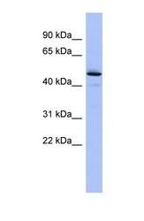 NBP1-58045 - PCOLCE