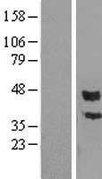 NBL1-14186 - PCOLCE Lysate
