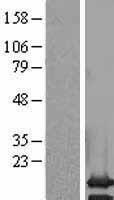 NBL1-14187 - PCP2 Lysate