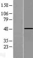 NBL1-14987 - PCPTP1 Lysate