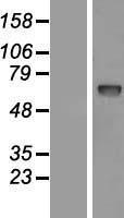 NBL1-14193 - PCSK9 Lysate