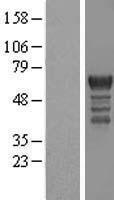 NBL1-14194 - PCTAIRE1 Lysate