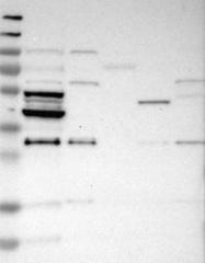 NBP1-87316 - CDK17 / PCTK2