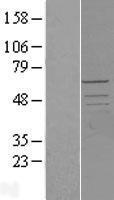 NBL1-14195 - PCTAIRE2 Lysate