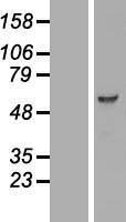NBL1-14196 - PCTAIRE3 Lysate