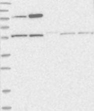 NBP1-81462 - PCYOX1