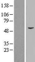 NBL1-14198 - PCYOX1 Lysate