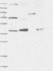 NBP1-84366 - PCYT1A