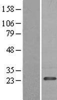 NBL1-14201 - PDAP1 Lysate