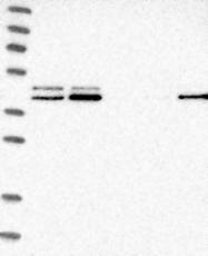 NBP1-81211 - PDCD2L