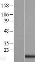 NBL1-14208 - PDCD5 Lysate
