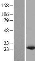 NBL1-14209 - PDCD6 Lysate