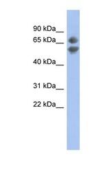 NBP1-59082 - PDCD7