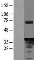 NBL1-14210 - PDCL Lysate