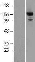 NBL1-14216 - PDE2A Lysate
