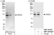 NBP1-46181 - PDE3A