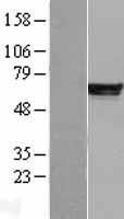 NBL1-14219 - PDE4B Lysate