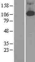 NBL1-14220 - PDE4B Lysate