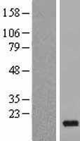 NBL1-14228 - PDE5D Lysate