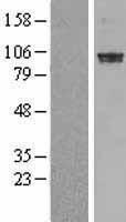 NBL1-14226 - PDE6A Lysate