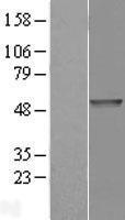 NBL1-14231 - PDE7B Lysate
