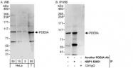 NBP1-52651 - PDE8A