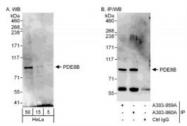 NBP1-71816 - PDE8B