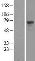 NBL1-14233 - PDE9A Lysate