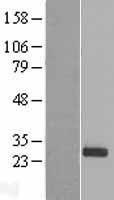 NBL1-14234 - PDF Lysate
