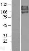 NBL1-14239 - PDGF Receptor beta Lysate