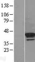 NBL1-14240 - PDGFRL Lysate