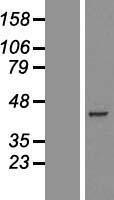 NBL1-14242 - PDHA2 Lysate