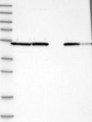 NBP1-84798 - PDIA6 / P5
