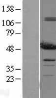 NBL1-14246 - PDIA6 Lysate