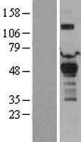 NBL1-14249 - PDK1 Lysate