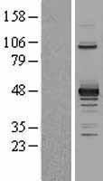 NBL1-14250 - PDK2 Lysate