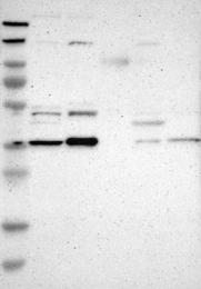 NBP1-80833 - PDLIM4
