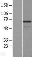 NBL1-14257 - PDLIM5 Lysate
