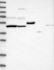 NBP1-82912 - PDP2