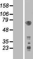 NBL1-14259 - PDPK1 Lysate